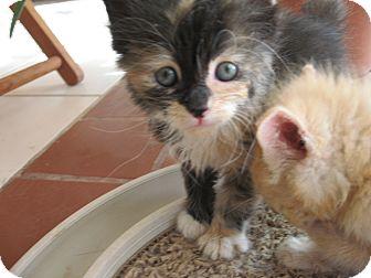 Domestic Mediumhair Kitten for adoption in Fallon, Nevada - Rosebud