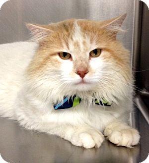 Domestic Longhair Cat for adoption in Dublin, California - Tom