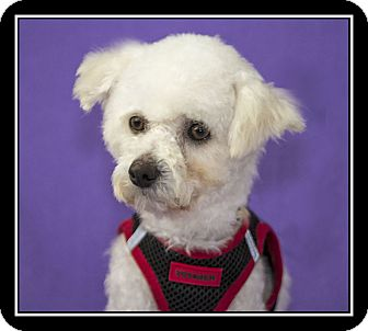 Poodle (Miniature)/Maltese Mix Dog for adoption in San Diego, California - Gunner