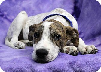 Pointer Mix Puppy for adoption in Westminster, Colorado - Lantern