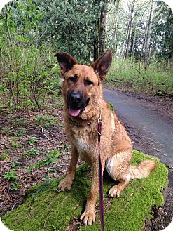 German Shepherd Dog/Golden Retriever Mix Dog for adoption in BC Wide, British Columbia - Charlie