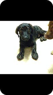 Dachshund/Labrador Retriever Mix Puppy for adoption in Hampton, Virginia - Gully