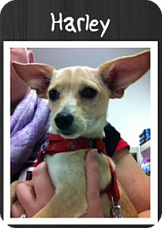Chihuahua/Dachshund Mix Dog for adoption in Grand Rapids, Michigan - Harley
