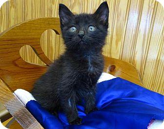 Bombay Kitten for adoption in Port St. Joe, Florida - Hero