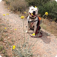 Adopt A Pet :: Patty - Las Vegas, NV