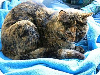 Domestic Shorthair Cat for adoption in Houston, Texas - Pepper