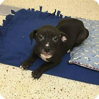 American Pit Bull Terrier/Great Dane Mix Puppy for adoption in Garden City, Michigan - Ellis