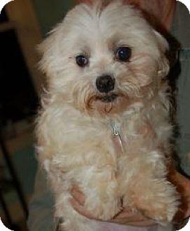 Maltese Dog for adoption in West Harrison, New York - Xaviera (TN)