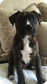 Boxer/Labrador Retriever Mix Puppy for adoption in Eden Prairie, Minnesota - Ryder