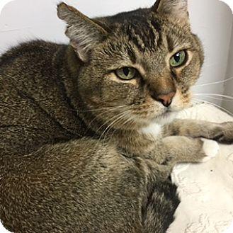 Domestic Shorthair Cat for adoption in Medina, Ohio - Jojo