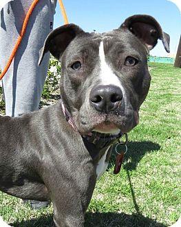 Pit Bull Terrier Mix Puppy for adoption in McKinney, Texas - Freda