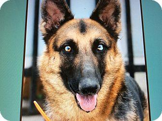 German Shepherd Dog Dog for adoption in Los Angeles, California - GYPSY VON GASTWORT
