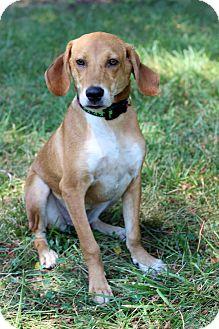 Hound (Unknown Type) Mix Puppy for adoption in Waldorf, Maryland - Neely