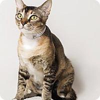 Adopt A Pet :: Spirit - N. Billerica, MA