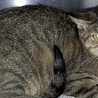 Domestic Shorthair Cat for adoption in Washburn, Missouri - Catamaran