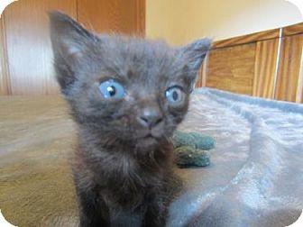 Domestic Shorthair Kitten for adoption in Wichita, Kansas - Onyx