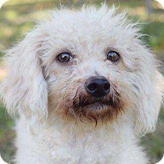 Poodle (Miniature) Mix Dog for adoption in Denver, Colorado - Qtip