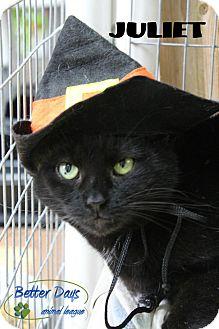 Domestic Shorthair Cat for adoption in Chambersburg, Pennsylvania - Juliet