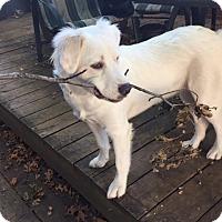 Adopt A Pet :: Sophie *Adopted - Tulsa, OK