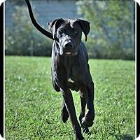 Adopt A Pet :: Major - Indian Trail, NC