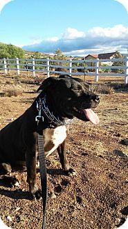 American Staffordshire Terrier/Labrador Retriever Mix Dog for adoption in Malibu, California - CHARRO