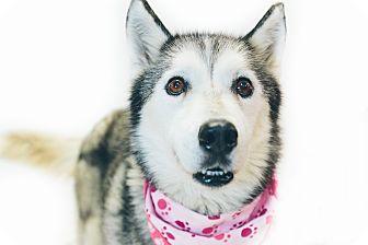 Siberian Husky Dog for adoption in New Castle, Pennsylvania - Aspen
