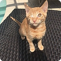 Adopt A Pet :: Omega - Tampa, FL