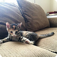 Domestic Shorthair Kitten for adoption in Crossville, Tennessee - Roxie