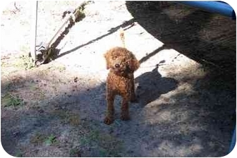 Poodle (Miniature) Puppy for adoption in Center Moriches, New York - Clifford