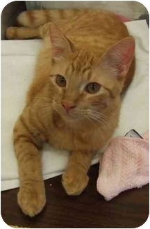 Domestic Shorthair Cat for adoption in Lake Charles, Louisiana - Monty