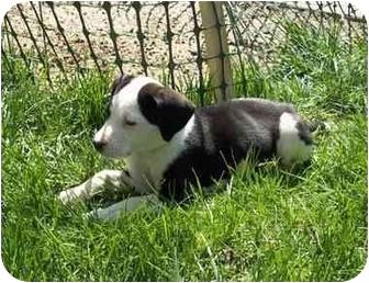 Shepherd (Unknown Type)/Dalmatian Mix Puppy for adoption in Broomfield, Colorado - Tatum