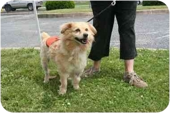 Pomeranian Mix Dog for adoption in Islip, New York - Sandy