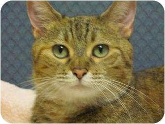 Domestic Shorthair Cat for adoption in Jackson, Michigan - Caramel