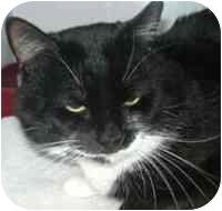 Domestic Shorthair Cat for adoption in West Warwick, Rhode Island - Buddy (URGENT)