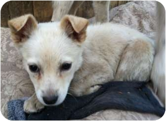 Chihuahua/Pomeranian Mix Puppy for adoption in Baltimore, Maryland - Bain