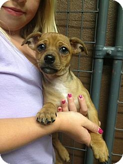 Chihuahua Mix Puppy for adoption in Simi Valley, California - Bernard