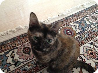 Domestic Shorthair Cat for adoption in East Hanover, New Jersey - Samantha