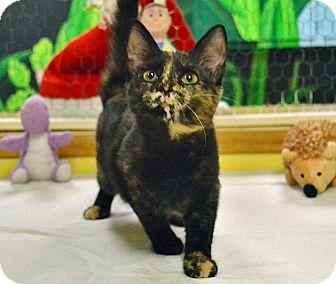Domestic Shorthair Cat for adoption in Searcy, Arkansas - Rain
