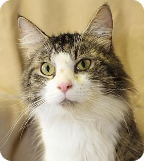 Domestic Shorthair Cat for adoption in Winston-Salem, North Carolina - Khaki
