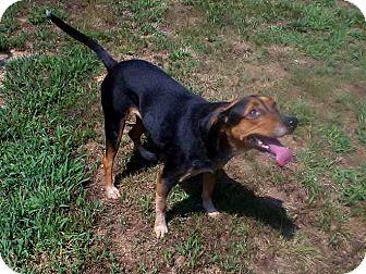 Black and Tan Coonhound Mix Dog for adoption in Oakland, Arkansas - Wanda