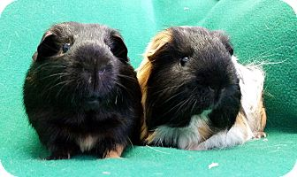 Guinea Pig for adoption in Lewisville, Texas - Piglet and Uno