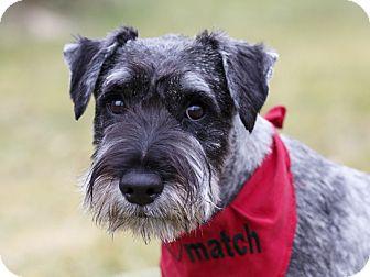 Schnauzer (Giant) Dog for adoption in Ile-Perrot, Quebec - Kadir