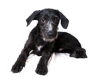 Terrier (Unknown Type, Medium) Mix Puppy for adoption in Wilmington, Delaware - Frosty