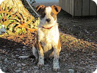 Australian Cattle Dog Mix Puppy for adoption in Newburgh, New York - ZANDER