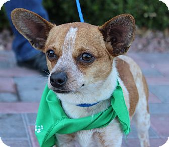 Terrier (Unknown Type, Small) Mix Puppy for adoption in Las Vegas, Nevada - BOGART