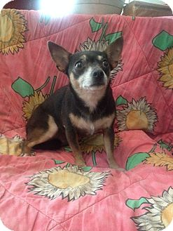 Chihuahua Dog for adoption in Middleburg, Florida - hope