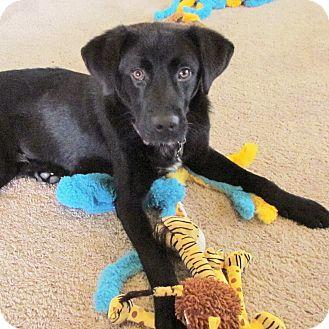 Labrador Retriever Mix Dog for adoption in Nashville, Tennessee - Harley