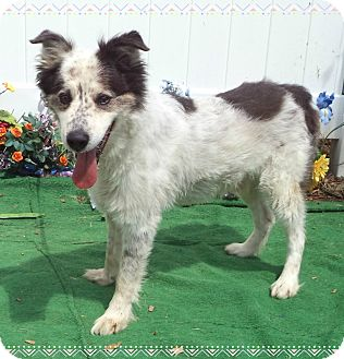 Australian Shepherd Mix Dog for adoption in Marietta, Georgia - WATSON - reclaimed