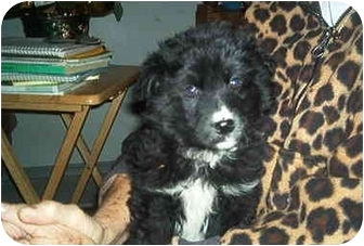 Border Collie/Golden Retriever Mix Puppy for adoption in all of, Connecticut - Rover