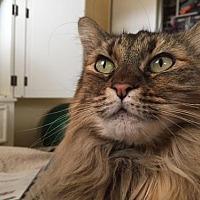 Adopt A Pet :: CA - Bella (CP) - HAYWARD, CA